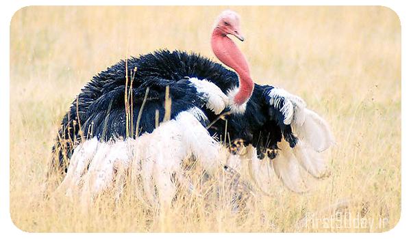 پرورش شترمرغ گردن قرمز در کشور، برای اطلاعات بیشتر طرح توجیهی پرورش شترمرغ زا مطالعه کنید