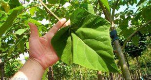 سود کاشت درخت پالونیا