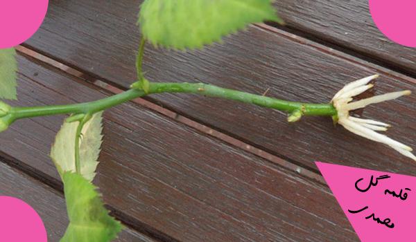 دانلود فایل طرح توجیهی کاشت گل محمدی در سال 98 به همراه آموزش کامل