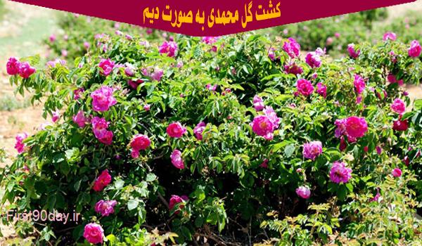 دانلود فایل طرح توجیهی کاشت گل محمدی در سال 98 ، تصویر یک بوته گل محمدی