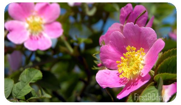 کاشت گل نسترن، برای اطلاع از هزینه طرح توجیهی پرورش گل نسترن را مطالعه کنید.