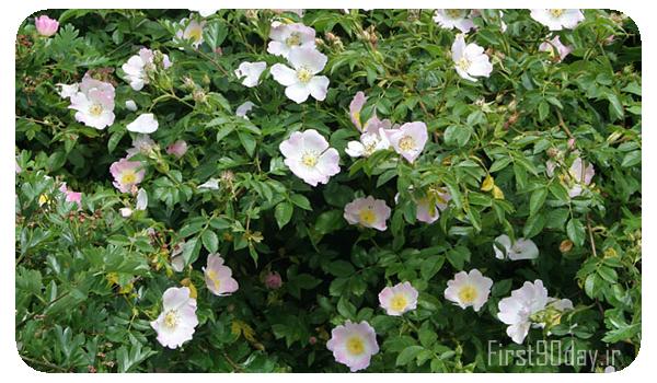 بوته گل نسترن، برای اطلاع از سود و هزینه ها طرح توجیهی کاشت گل نسترن را مطالعه کنید.