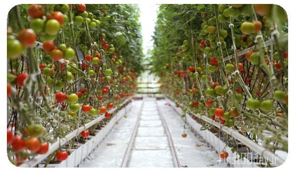طرح توجیهی گلخانه هیدروپونیک و تولید گوجه فرنگی